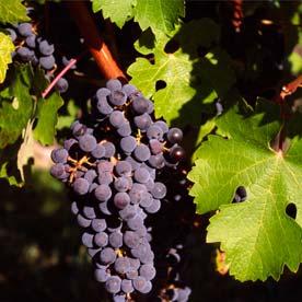 Penedès, tierra de vinos y cavas